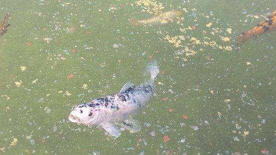 fisk i damm