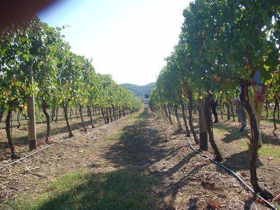 Konavle, Croatia: The vineyard