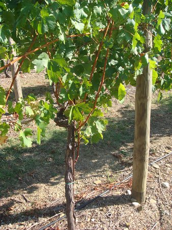 Konavle, Kroasia: Close up of the vine