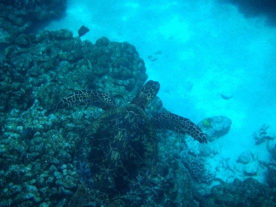 Honaunau, HI: tartaruga