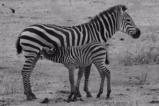 Tarangire National Park, تنزانيا: Just got to have it...