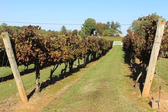 Gray Ghost Winery: grape vines