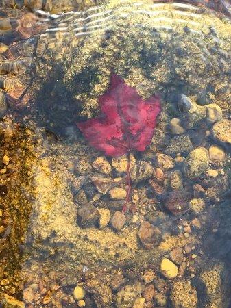 Shelburne, Καναδάς: Maple leaf in the river.