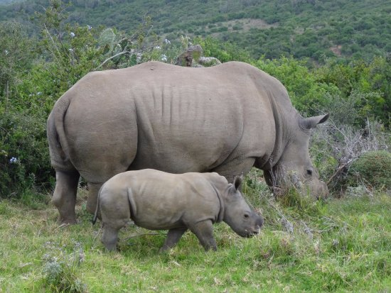 Kenton-on-Sea, South Africa: rhinos