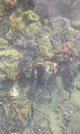 Lovina Beach, Indonesia: Fish feeding