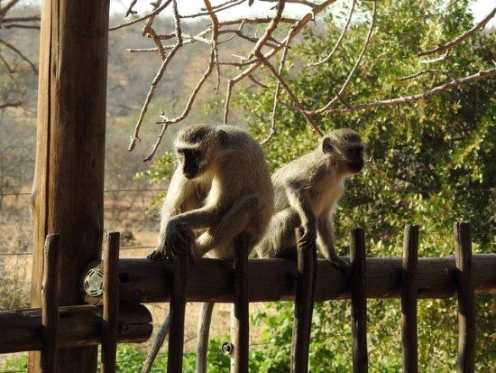 Tremisana Game Lodge: Vervet monkeys