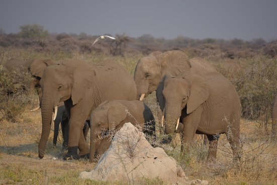 Windhoek, Namíbia: Herd of 50-60 elephant