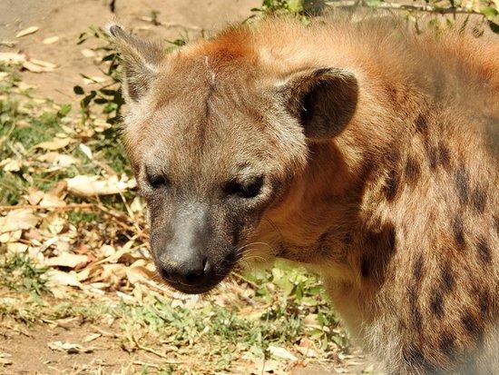 Hoedspruit, แอฟริกาใต้: Hyena