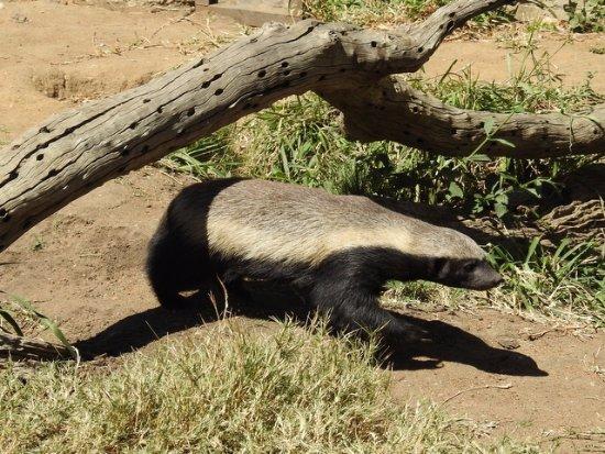 Hoedspruit, แอฟริกาใต้: Ratel