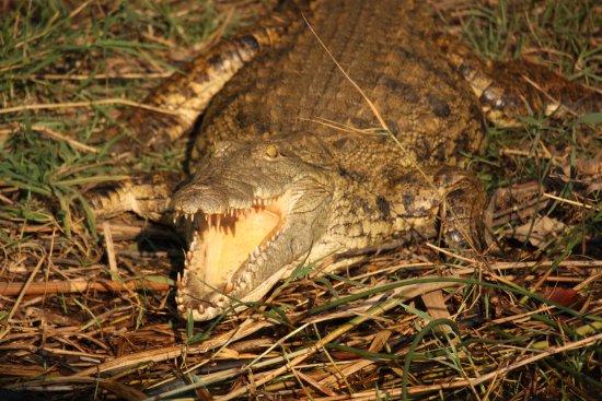 St Lucia, Afrique du Sud : crocodile