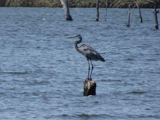 Okmulgee, OK: Great Blue Heron
