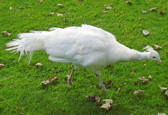 Scone Palace: The white peacock.