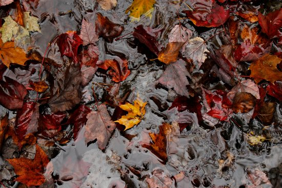 Algonquin Provincial Park, Canada: Autumn leaves in the creek