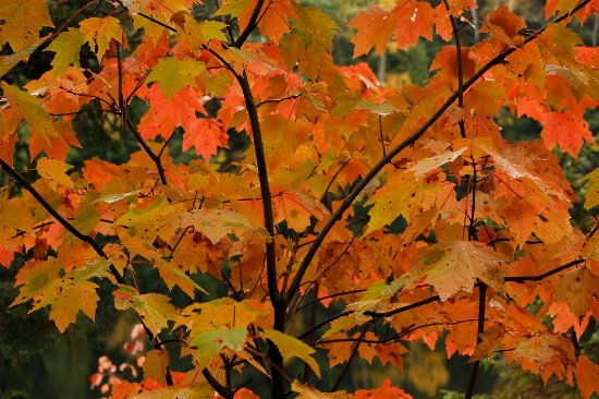Algonquin Provincial Park, Canada: Colorful leaves