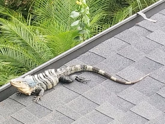 La Mansion Inn: Iguana by the pool area