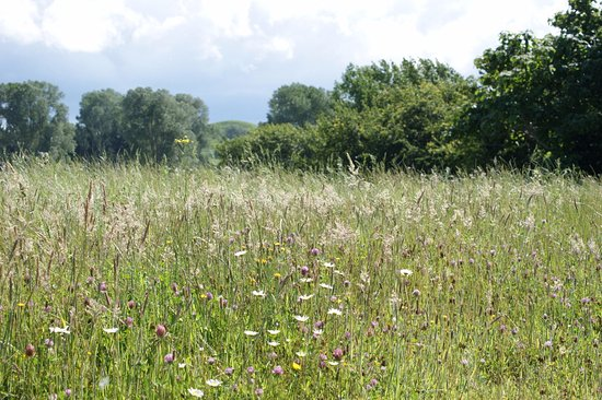 Tirau, Nowa Zelandia: Regerative pasture management includes allowing areas to flower for the beneficial insects
