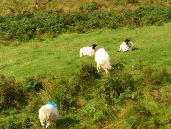 Lismore, Ierland: sheep as we got nearby