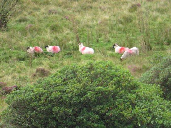 Clogheen, Irlanda: Grazing sheep