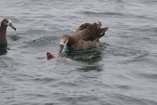 Moss Landing, Californië: Black Footed Albatross feeding