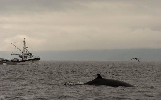 Tadoussac, كندا: Minke Whale