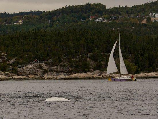 Tadoussac, كندا: White Beluga Whale