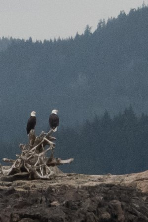 There are a lot of bald eagles in the Campbell River area