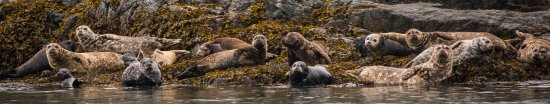 Campbell River, Canada: They always seem to be lounging - or maybe avoiding the orcas!