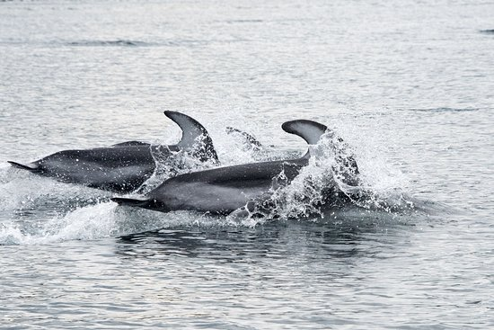 Campbell River, Canada: Dolphin synchronized swimming