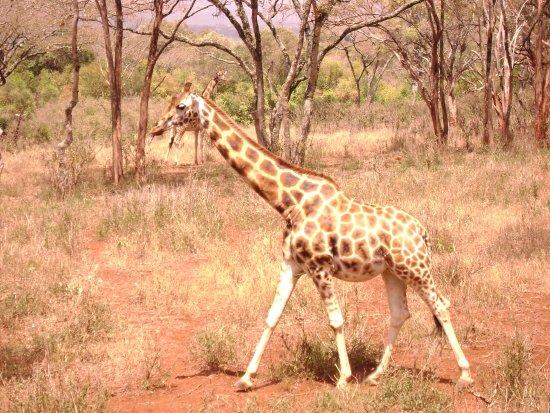 Giraffe Centre Resmi