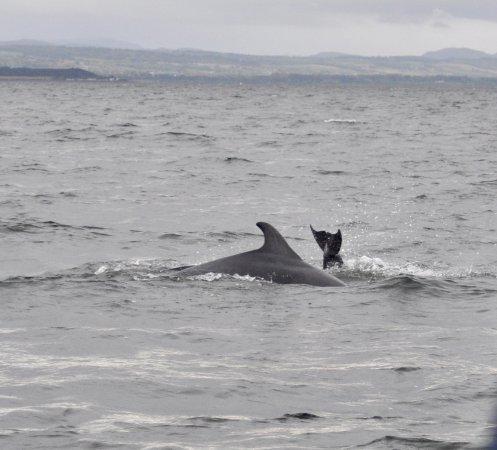 Avoch, UK: Dolphins