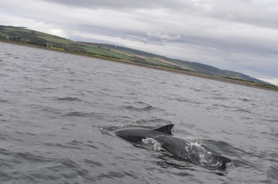 Avoch, UK: For a full 30 min they swam around the boat .