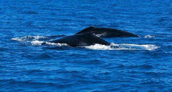 Busselton, Australien: 2 Humpbacks