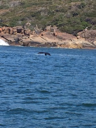 Albany, Australia: a beautiful Humback Whale playing with her calf