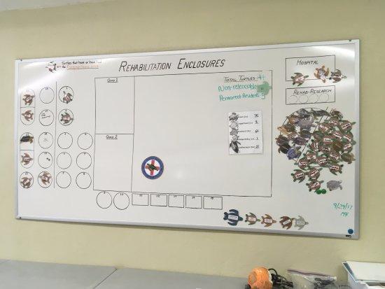 The Turtle Hospital : Organigrama de la distribución de tortugas