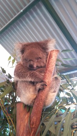 Perth Zoo : i think its kuala bear