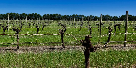 Wilyabrup, Australia: Vines