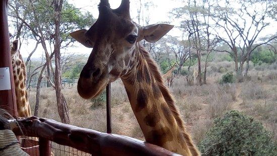 Giraffe Centre: Giraffe Center
