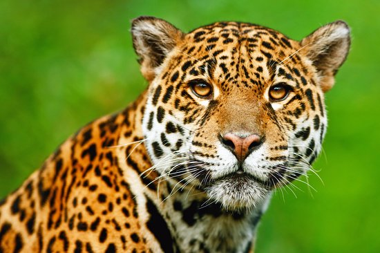 Iquitos, Perú: Best place to see jaguar in the amazon.