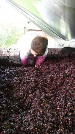 Hermann, MO: Punching down the Norton Must in fermentation. The romance of wine.