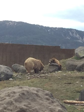 Montana Grizzly Encounter: Grizzlies