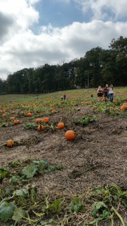 Woodbine, MD: Pumpkin Field