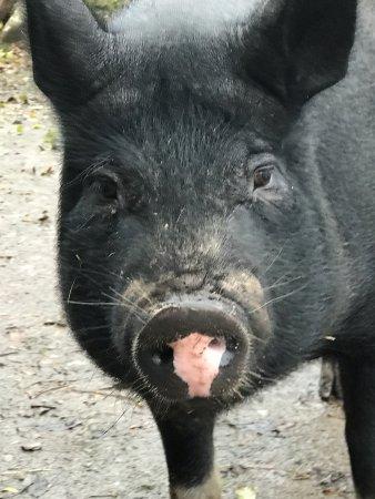Kenmare, İrlanda: One of the many farm animals.