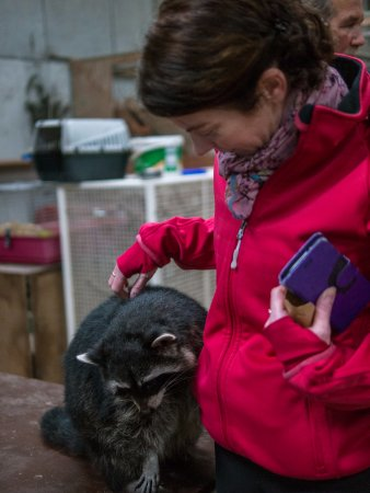 Ballymote, Irlanda: The Racoon that loves pick-pocketing!