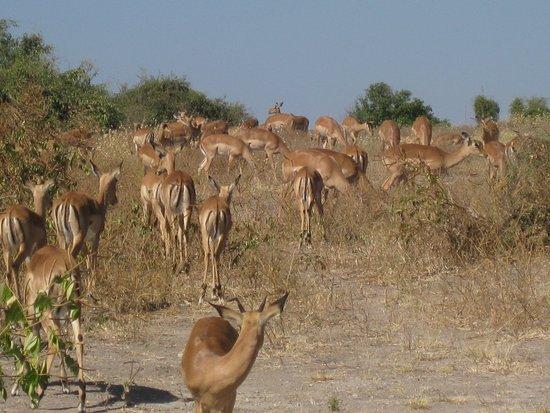 Kasane, Botswana: Impala
