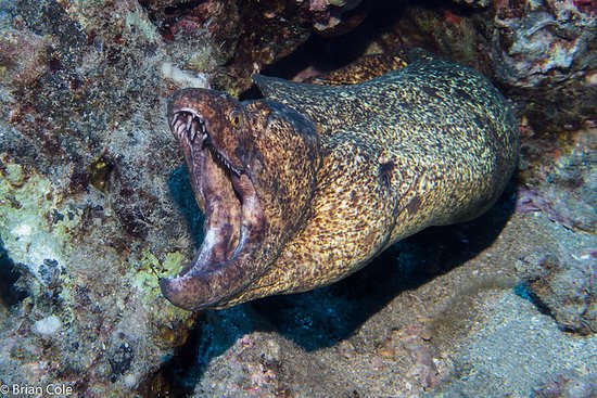Ed Robinson's Diving Adventures: Yellowmargin Moray Eel - At Marty's Reef