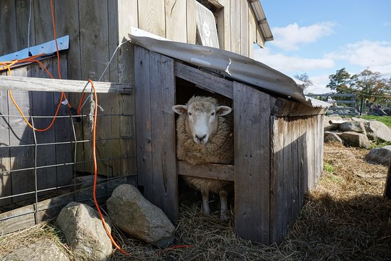 Phillipston, MA: sheep