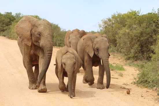 Addo Elephant National Park, Zuid-Afrika: elephant family that crossed right in front of us