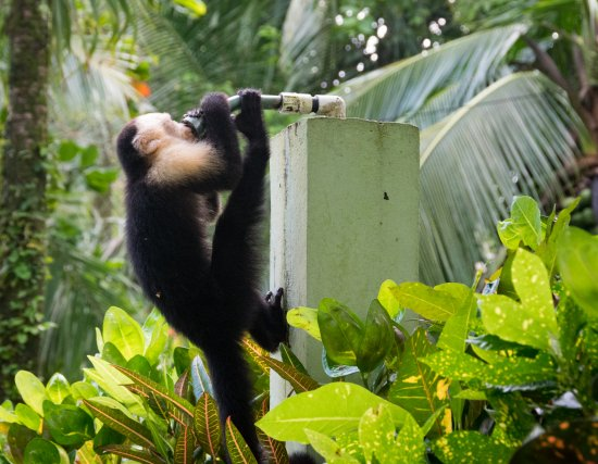 Playa Matapalo, Costa Rica: Monkey getting his drink on from the outside pool shower