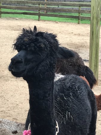 Oak Bluffs, MA: Alpacas come in all colors