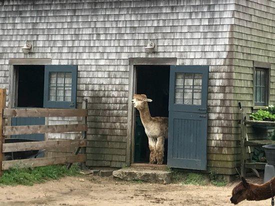 Island Alpaca Company of Martha's Vineyard : Hello